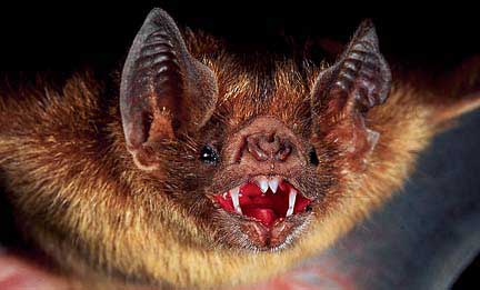 Vampire Bats. Whilst you were asleep, these suckers could bite you and lick up the blood. They also carried rabies.