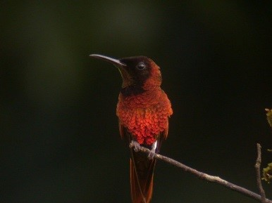 Crimson Topaz Hummingbird, a friend on the Mazaruni river.