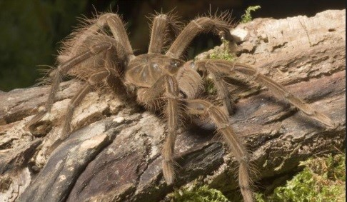 The goliath Bird-eating tarantula, largest spider in the world. Best avoided.